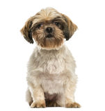 Front view of a Shih tzu sitting, isolated Royalty Free Stock Images