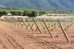 View of a side of a vineyard plantation of a few years in summer stock photo