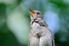 Front view of singing nightingale Stock Images