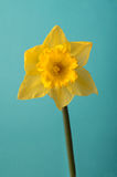 Front View of Single Spring Daffodil on Turquoise Stock Image