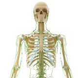 Front view of skeleton lymphatic system. 3d art illustration of front view of skeleton lymphatic system Stock Photography
