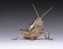 Small Locust Stock Image