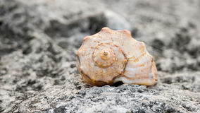 Front view of spiral seashell on rock Stock Photo