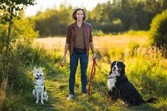 Young man walking with Bernese Mountain Dog on the summer field. Front view at a stylish young caucasian man standing with two dogs Bernese Mountain Dog and royalty free stock image