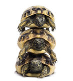 Front view of three baby Hermann's tortoise piled up. Testudo hermanni, isolated on white royalty free stock photography