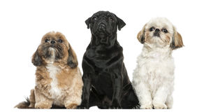 Front view of three dogs sitting in a row, isolated Royalty Free Stock Photo