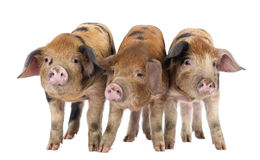 Front view of Three Oxford Sandy and Black. Piglets, 9 weeks old, against white background royalty free stock photography