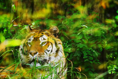 Front view of a tiger Royalty Free Stock Image