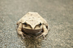 Front view of tree frog Stock Image
