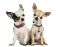 Front view of two Chihuahuas wearing collars, sitting Royalty Free Stock Photography