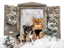 Front view of two dressed-up Chihuahuas sitting a bridge Royalty Free Stock Photography