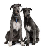 Front view of Two Irish Wolfhounds sitting