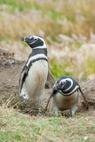 Front view of two penguins Stock Image