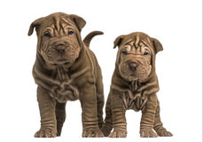 Front view of two Shar Pei puppies standing royalty free stock images