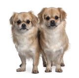 Front view of Two Tibet Spaniels, standing Royalty Free Stock Image