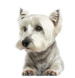 Front view of a West Highland White Terrier lying, isolated Royalty Free Stock Images