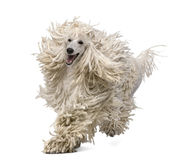 Front view of White Corded standard Poodle running Royalty Free Stock Photos