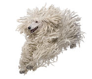 Front view of White Corded standard Poodle running Royalty Free Stock Image