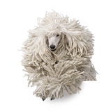 Front view of White Corded standard Poodle running stock photography