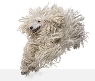 Front view of White Corded standard Poodle running Royalty Free Stock Photo