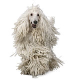 Front view of White Corded standard Poodle walking Stock Photos