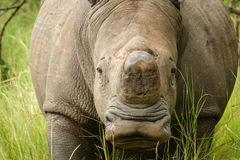 Front view of white rhino without horn in Uganda Royalty Free Stock Photography