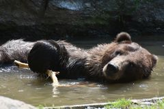 Front view of a brown grizzly bathing Stock Images