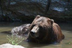 Wild brown peninsular bear bathing itself. Front view of a wild peninsular bear bathing itself Royalty Free Stock Photo