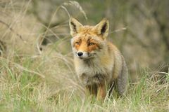 Front view of a wild red fox vulpes vulpes walking in a forest. During Autumn season Stock Images