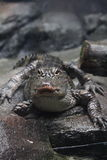 Front view of Yangtze Alligator Royalty Free Stock Photos