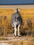Front view of zebra Stock Photos
