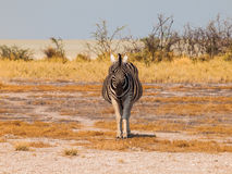 Front view of zebra Stock Images