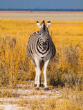 Front view of zebra Royalty Free Stock Photography
