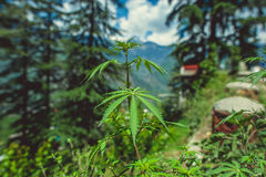 In the front weed. On background Himalayan mountans and blue sky with clouds Stock Photography