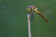 Front of wild black yellow dragonfly Stock Image