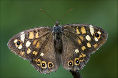 Grey orange butterfly  on a brown branch Royalty Free Stock Photo