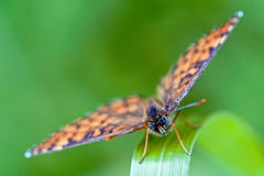Front of wild brown orange butterfly. Front of wild brown    orange butterfly  on a green leaf in the bush Stock Photos