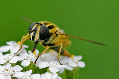 Front of wild fly diptera syrphidae Stock Image