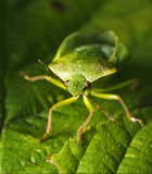 Front of wild hemiptera Nezara Virdula Royalty Free Stock Photos