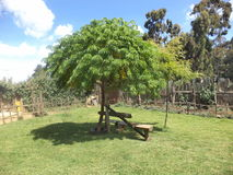 Front yard landscape garden in africa with a green smart hardwood tree. It common in africa for people to plant tree at the front yard with a resting chair for Stock Photography