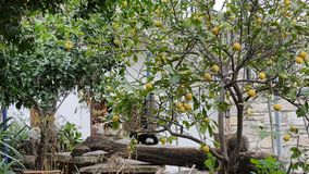 Front yard. A front yard with lemon tree and cats sitting on a wooden pole Royalty Free Stock Photo