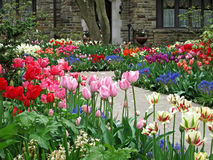 Front yard tulip garden. In front of stone house Royalty Free Stock Photo