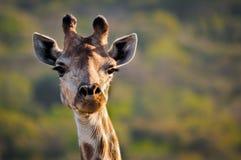 Frontal жирафа головной Стоковая Фотография RF