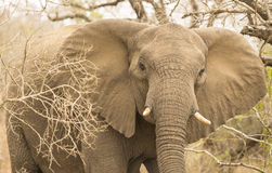 Frontal African Elephant. Frontal picture af African Elephant Stock Photo