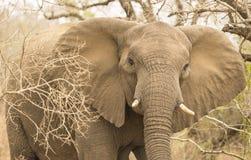 Frontal afrikansk elefant Arkivfoto