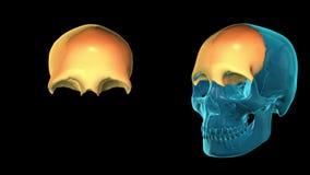 Frontal Bone - 3D MODEL ANIMATION