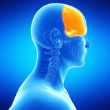 The frontal bone. Medical illustration of the frontal bone Royalty Free Stock Images