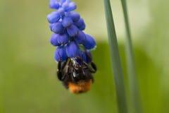 Frontal cercano para arriba de una abeja del manosear Imagen de archivo libre de regalías