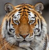Frontal Close Up View Of A Siberian Tiger Stock Photo