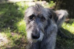 Frontal closeup of beautiful grey Irish Wolfhound lying down. In garden with shy expression and soft focus background royalty free stock photo